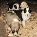 I cuccioli di Spiga
